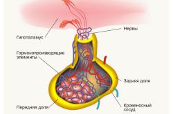 Схема гипофиза