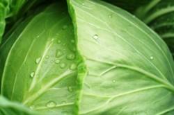 Польза белокочанной капусты при раке прямой кишки